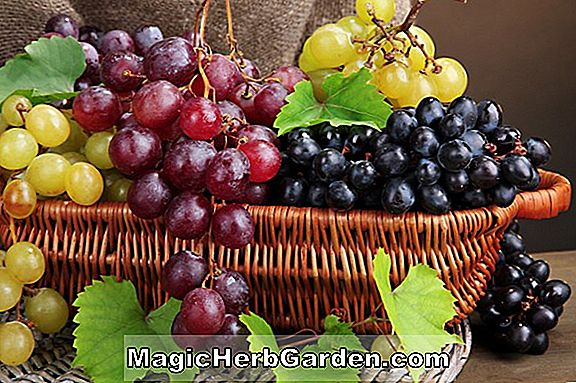Planter: Vitis (St. Pepin Grape)