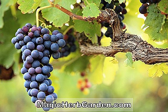 Vitis vinifera (Pinot Noir Grape)