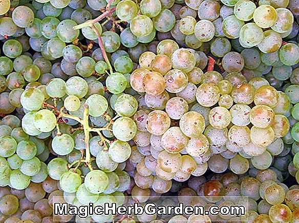 Vitis vinifera (Pinot Blanc Grape)