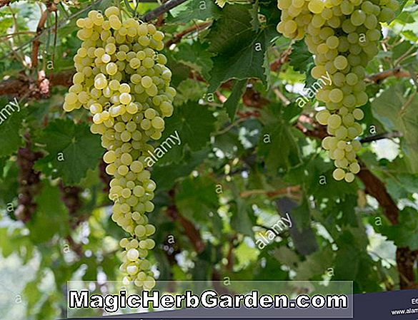 Planter: Vitis vinifera (Tokay Pinot Gris Grape)