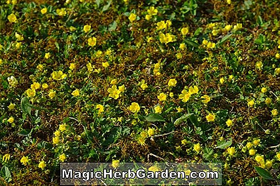 Waldsteinia ternata (Golden Strawberry)