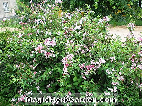 Planter: Weigela florida (Eva Rathke Weigela)