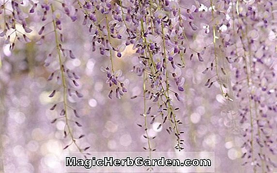Wisteria floribunda (Royal Purple Wisteria)