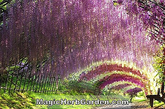 Wisteria floribunda (Double Black Dragon Wisteria)
