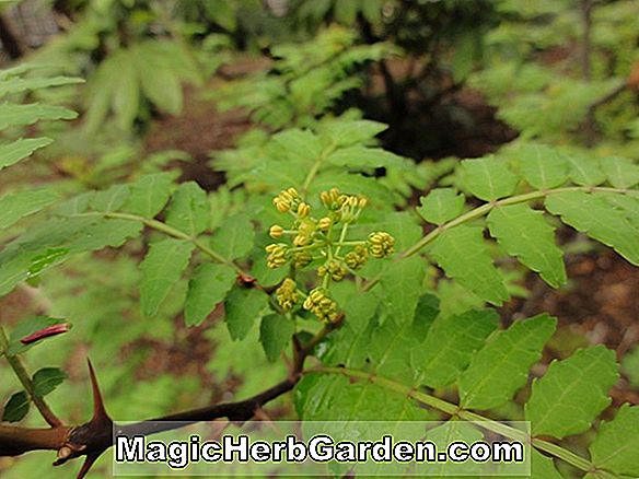 Planter: Zanthoxylum piperitum (japansk Prickly Ash)