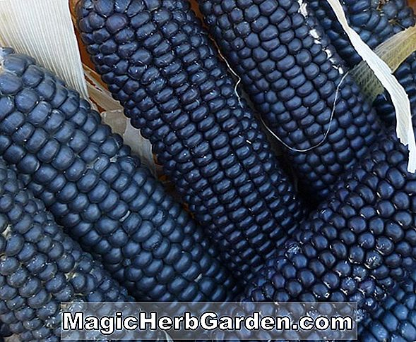 Zea mays (Escondida Blue Corn)