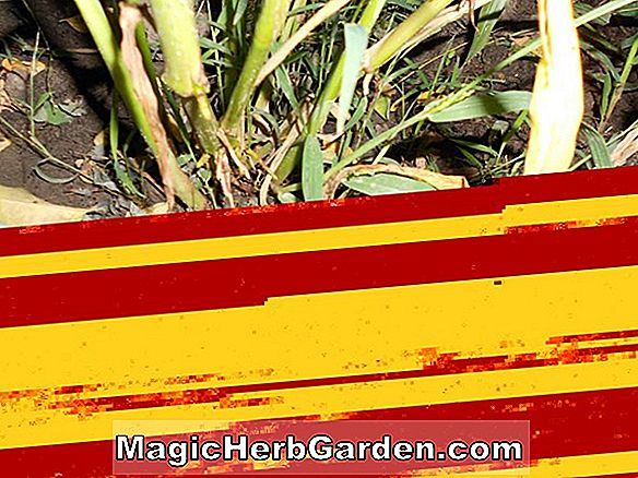 Zea mays (Northern Super Sweet Corn)