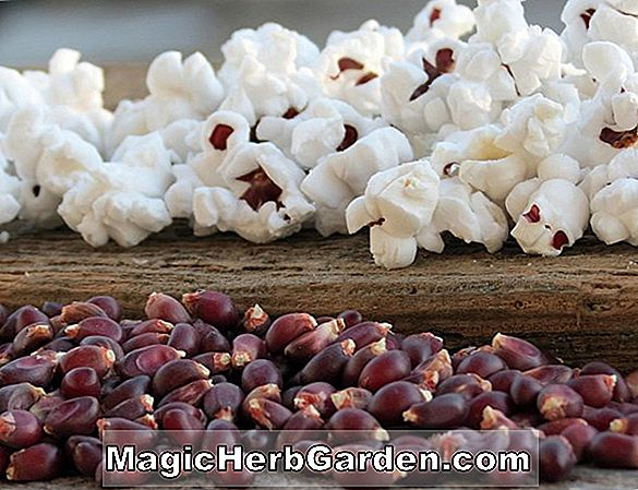 Planter: Zea mays (Ruby Red Corn)