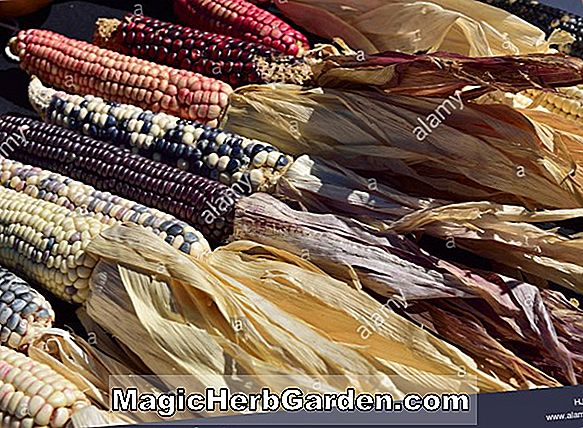 Zea mays (Santa Domingo Yellow Corn)