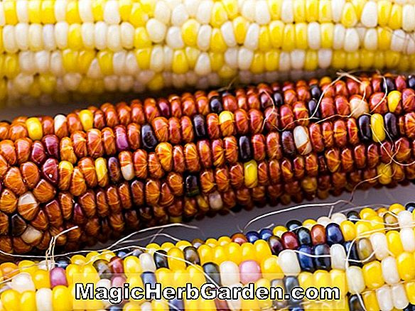 Zea mays (White Flint Corn)