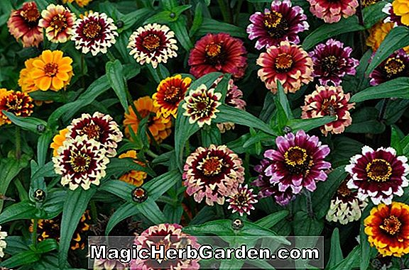 Zinnia haageana (Star White Zinnia)