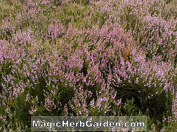 Calluna, Erica Heather buske