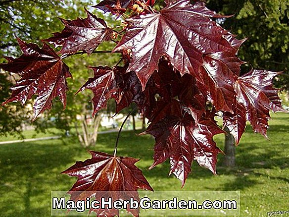 Crimson King Maple