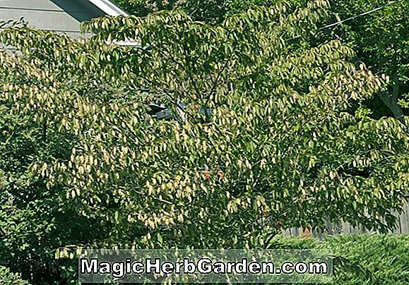 Hornbeam Growing Guide - Carpinus