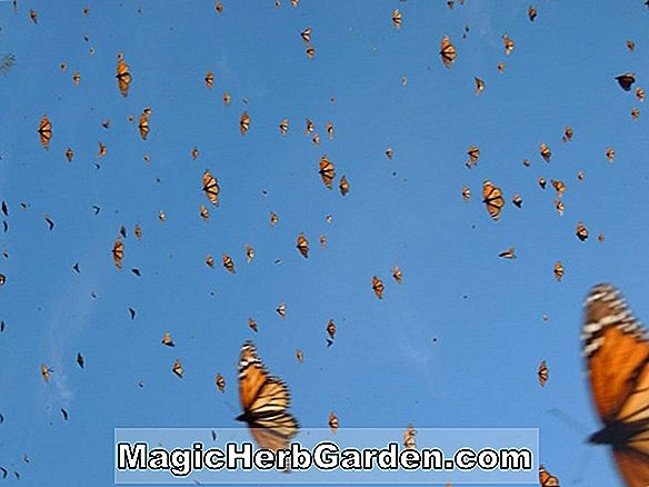 MONARCHS OF THE SKY