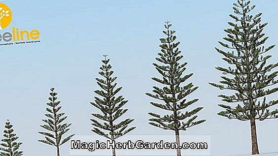 Tips: NORFOLK ISLAND PINE