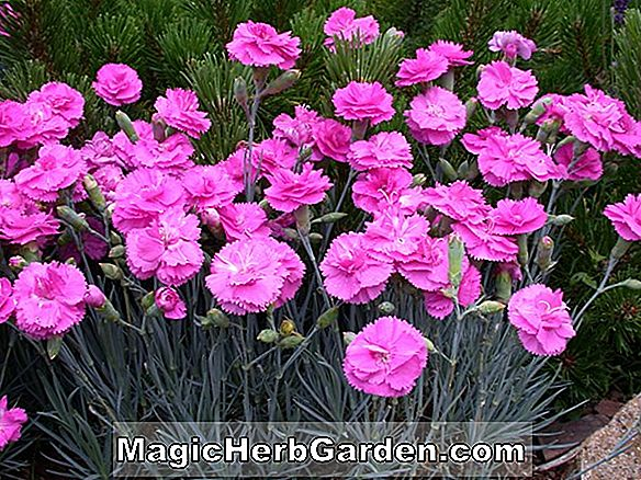 Pink Carnation Dianthus Haveplanter Design Information