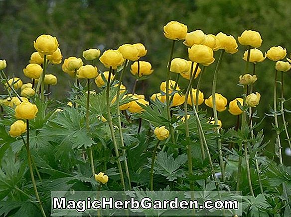Trollius europaeus (Common European Globeflower)
