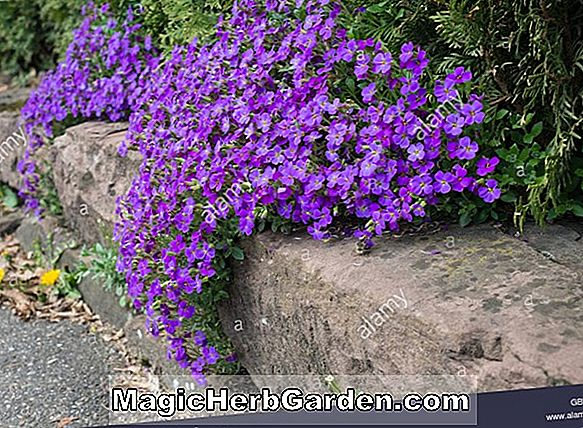 Aubrietia - Purple Rock Cress, Faux Mur Cress, Guide des Plantes Vivaces