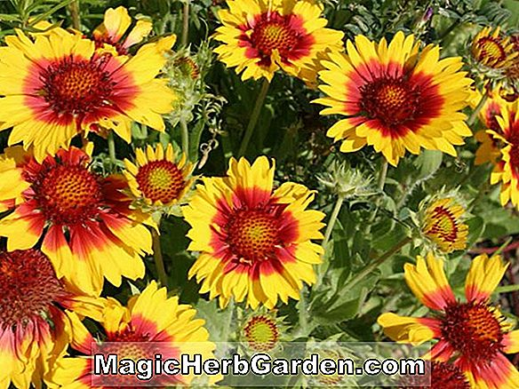Gaillardia - Blanket Flower, Évente Guide to Planting Flowers