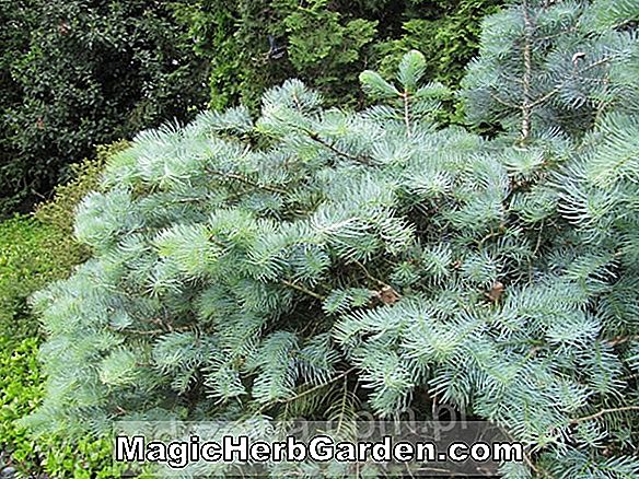 Abies concolor (Wattezii White Fir)