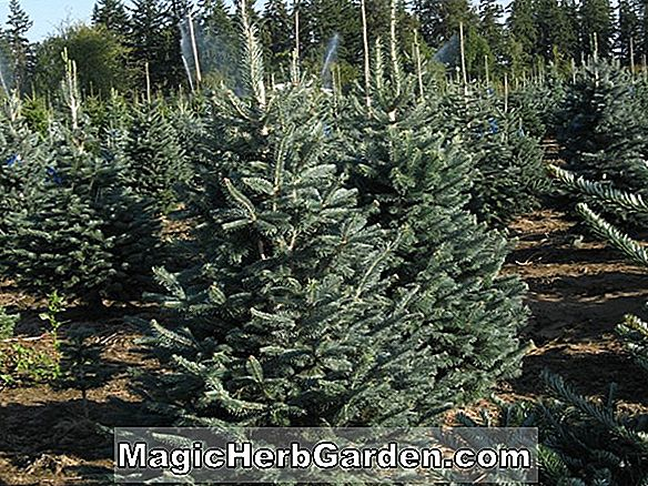 Abies lasiocarpa (Arizona-Tanne)