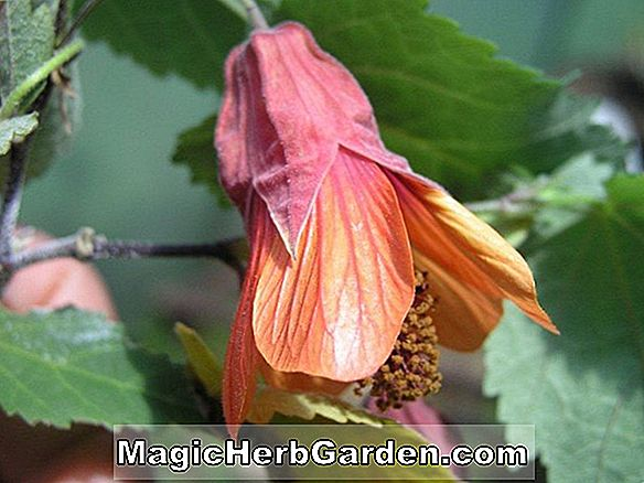 Abutilon megapotamicum (Trailing Abutilon)