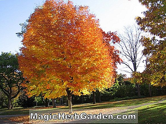 Acer saccharum (Bonfire Zuckerahorn)