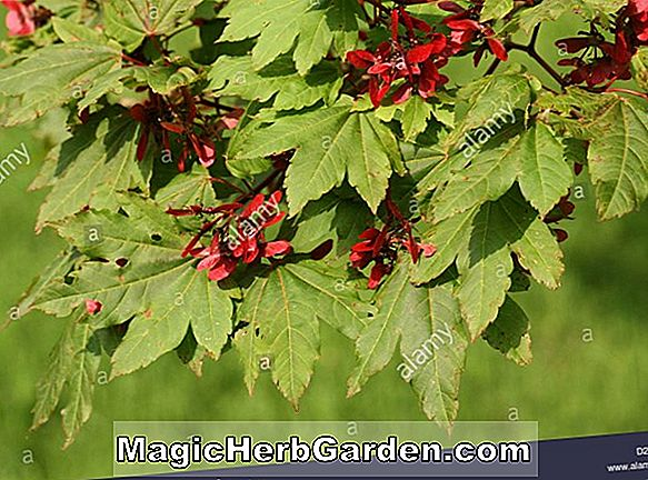 Acer Shirasawanum (Herbst Moon Maple)