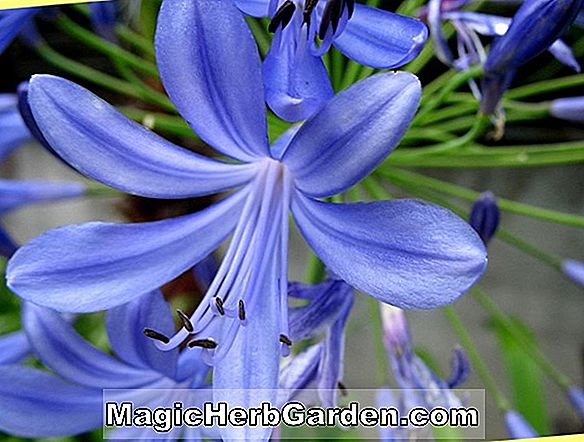 Agapanthus (Liliput Zwerg Lily-of-the-Nile)