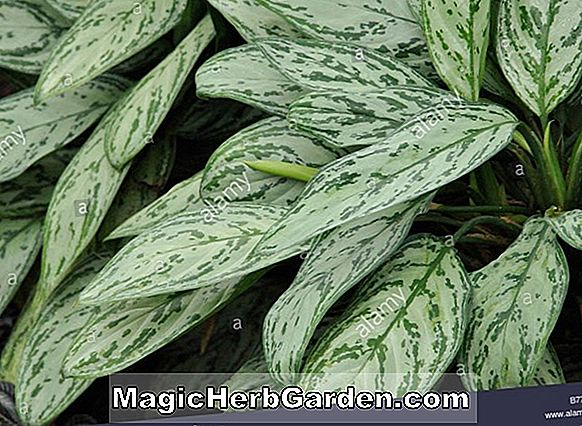 Aglaonema commutatum (philippinischer Evergreen)