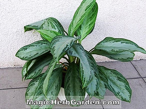 Aglaonema modestum (Thai Evergreen)
