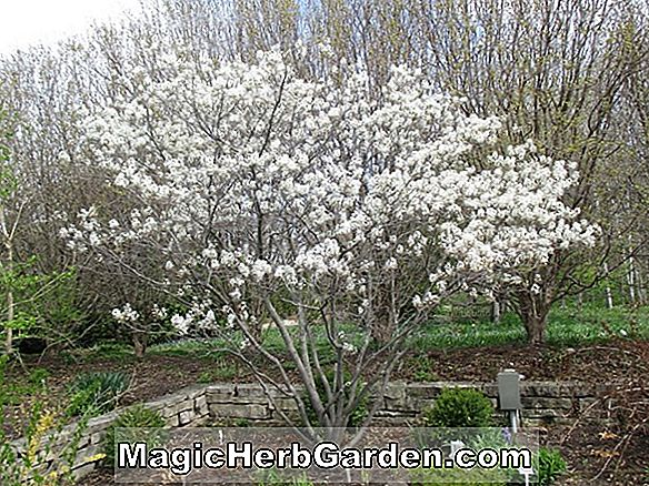 Amelanchier grandiflora (Ballerina Apple Serviceberry)