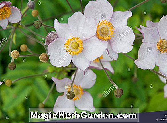 Anemone hupehensis (September Charme Windflower)