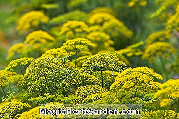 Anethum graveolens (Dill)