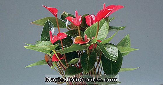 Anthurium crystallinum (Flamingoblume)
