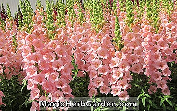 Antirrhinum majus (Kingston Löwenmaul)