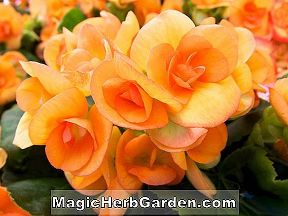 Begonia Orange Freude (Orange Delight Begonie)