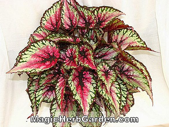 Begonia China Curl (Bégonia chinois)