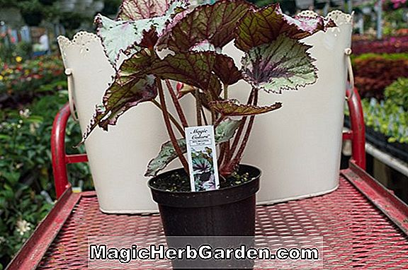 Pflanzen: Begonia Can-Can (Can-Can-Begonie) - #2