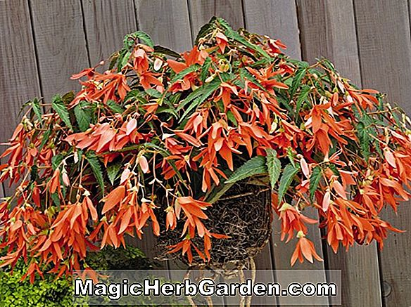 Pflanzen: Begonia Golden Gate (Golden Gate Begonie)
