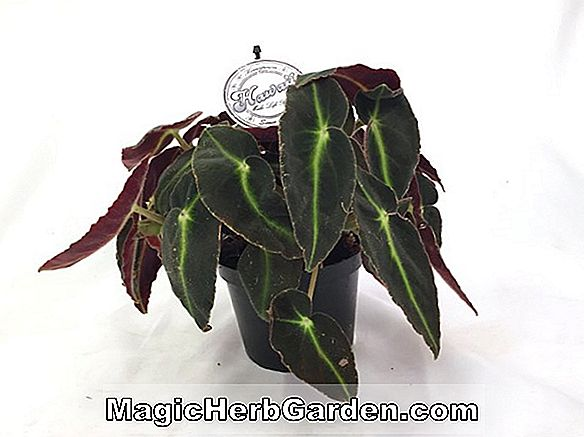 Plantes: Begonia Hawaii Fifty (Hawaii Fifty Begonia)