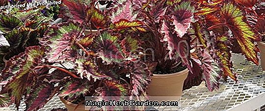 Begonia Lime Freeze (Lime Freeze Begonie) - #2