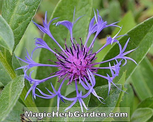 Begonie Purple Glory (Purple Glory Begonie)