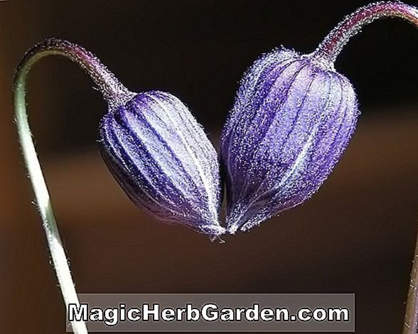 Begonie Purple Heart (Purple Heart Begonie)