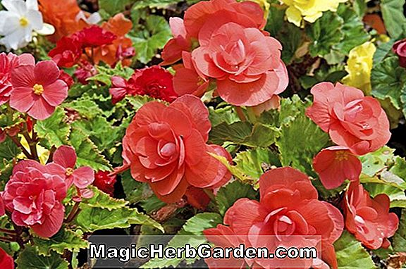 Begonia Run About (About Begonia) - #2