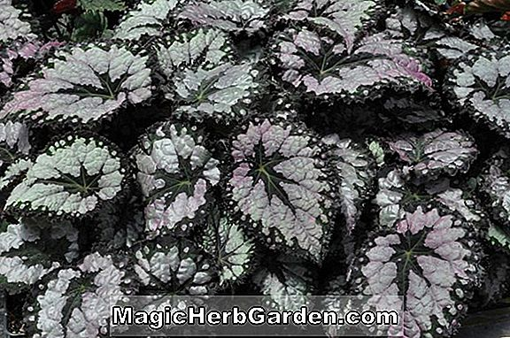 Plantes: Begonia Shorty (Bégonia Shorty)