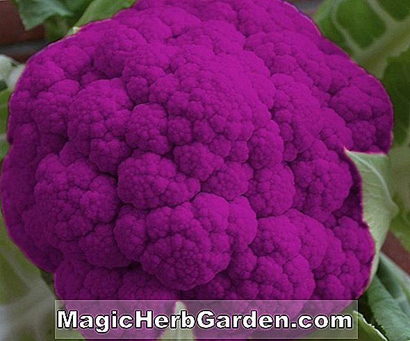 Brassica oleracea (Purple Sprouting Brokkoli)