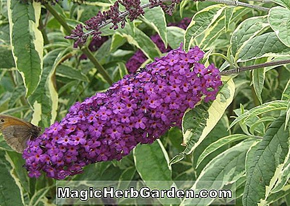 Buddleia davidii (Empire Blue Sommer Flieder) - #2