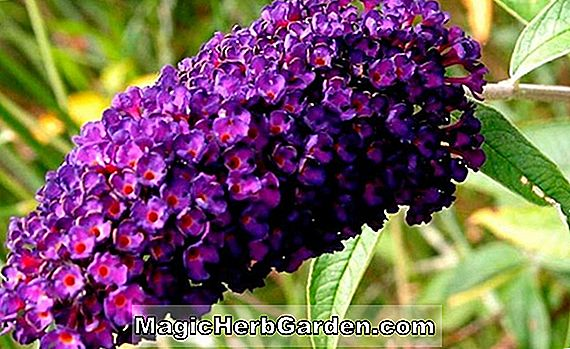 Buddleia (Nanho-purpurroter Schmetterlings-Busch)
